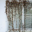 Beautiful pattern of dead Ivy on windows — Stock Photo