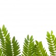 Green leaves frame isolated on white background — Stock Photo #33328575