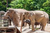 在动物园里的大象 — 图库照片