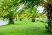 Schöne palme im garten mit grünem gras. — Stockfoto