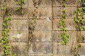 Green creeper tree on wall — Stock Photo