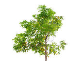 Golden shower tree isolated — Stock Photo
