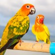 Stock Photo: Sun Conure Parrot on Branch posting at camera