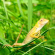 Brown Thai native lizard catch on the tree and act to the camera — Stock Photo