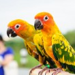 Sun Conure Parrot on Branch posting at the camera — Stock Photo