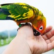 Sun Conure Parrot playing on hand. — Stock Photo