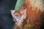Butterfly sucking juice from papaya — Foto de Stock