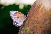 Butterfly sucking juice from papaya — Stock Photo