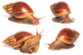 Set of the garden snail collection isolated — Stock Photo