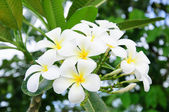 Beautiful plumeria flower and blossom in the frangipani tree — Stock Photo