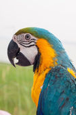 Colorful parots head closeup — Stock Photo