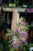 Beautiful is tillandsia in garden. — Stock Photo