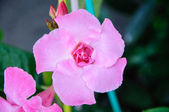 Oleander - rose bay — Stock fotografie