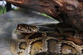 蟒蛇蛇展 — 图库照片