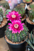 Cactus flower. — Stock Photo
