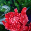 Stock Photo: DOF of Torch Ginger