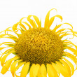 A large beautiful sunflower on white background — Stock Photo
