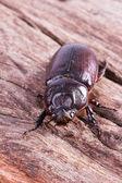 Coleoptera — Stock Photo