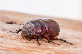 Close up Coleoptera — Stock Photo