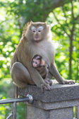 Little monkey with mother — Stock Photo