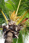 Close Up a Bunch of Green Coconut Tree. — Stock Photo