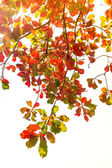 Red and green leaves with sunlight on white — Stock Photo