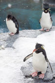 Rockhopper penguin standing on snow — Stockfoto
