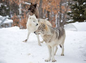 A small pack of three Eastern timber wolves gather on snow — Stock Photo