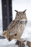 Eurasian Eagle Owl winking an eyes — Stock Photo