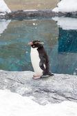 Rockhopper penguin standing on snow — Stock fotografie
