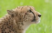 Cheetah — Stock Photo