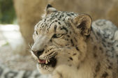 Snow leopard — Stockfoto