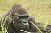 Gorille — Photo