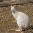Bennett's wallaby — Stock Photo