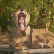 Stock Photo: Asiatic Lion