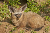 Bad-eared fox — Stock Photo