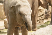 Young Asian elephant. — ストック写真