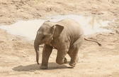 Young Asian elephant. — Foto Stock