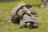 Aldabra giant tortoise. — Photo
