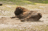 European bison. — Stock Photo