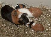 Newborns Of Guinea Pig — Stock Photo
