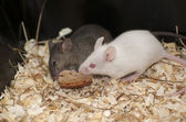 House mouse — Stock Photo