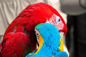 ANIMAL (Birds) - Parrots, Lovely Parrots — Stock Photo