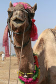 Camel during the fair in Rajasthan, India — Stock Photo