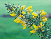 Flowering Gorse — Stock Photo