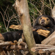 Worried Sun Bear — Stock Photo