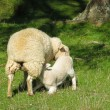 Ewe Feeding — Stock Photo