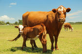 Mother Cow & Calf — Stock Photo