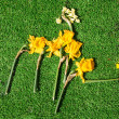 Stock Photo: Drying Daffodils
