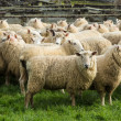 Ewe Sheeps — Stock Photo